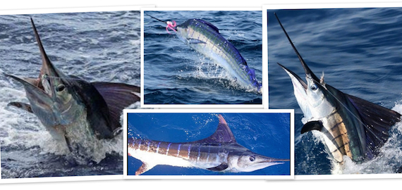 Black Marlin trips ex Cairns Sep to Dec